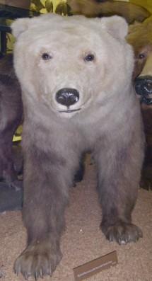 Polar-brown bear hybrid-2-Nanulak.jpg