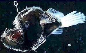 Deep Sea Anglerfish; Image ONLY