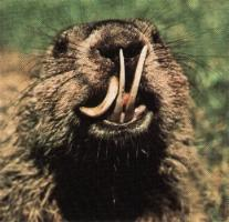 groundhog with overgrown teeth; Image ONLY