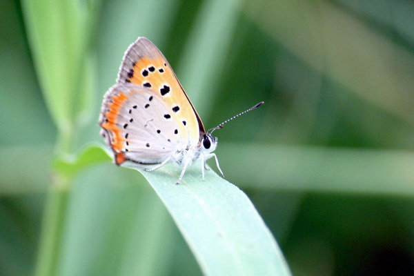 Small Copper (Lycaena phlaeas) {!--작은주홍부전나비-->; Image ONLY
