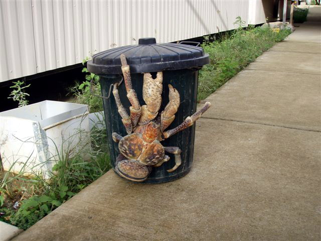 Ridiculously huge coconut crab; Image ONLY