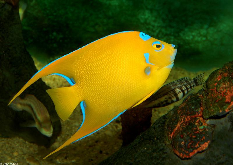 Queen Angelfish (Holacanthus ciliaris)1000; DISPLAY FULL ...