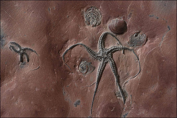 Fossil sea spiders thrill experts [BBC 2007-08-16]; Image ONLY