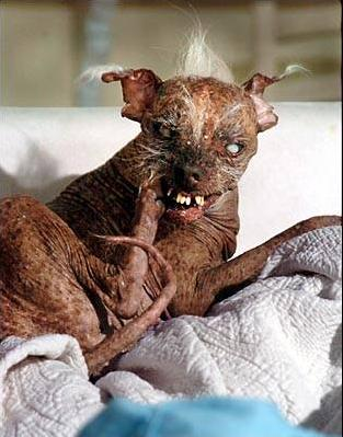 Worlds Ugliest Dog who one the contest; Image ONLY