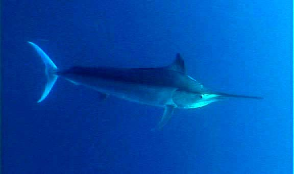 Black marlin (Makaira indica); Image ONLY
