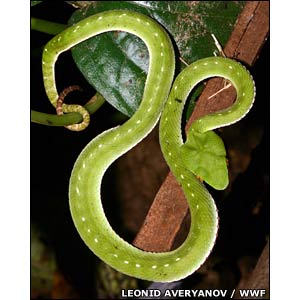 Uncovering Vietnam's secret wildlife - Tree Viper [BBC 2007-09-26]; Image ONLY