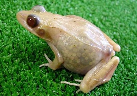 Hiroshima scientists create transparent frogs; Image ONLY