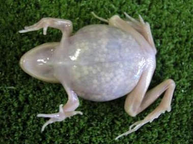 transparent frog-Japanese brown frog (Rana japonica).jpg