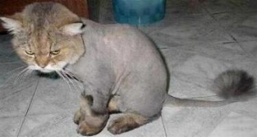 Shaved Cat.jpg