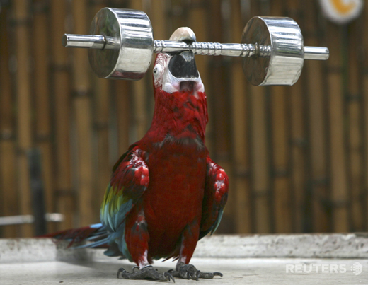 weight lifting parrot; Image ONLY