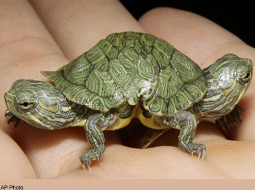 Tiny Two-Headed Turtle on Display [LiveScience 2007-09-28]; Image ONLY