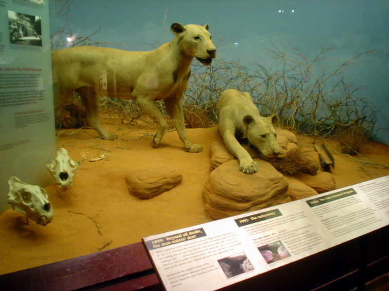 Tsavo maneaters - Wiki; DISPLAY FULL IMAGE.
