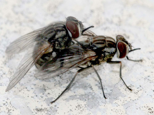 West Nile Now Flies with Flies [LiveScience 2007-10-04]; Image ONLY