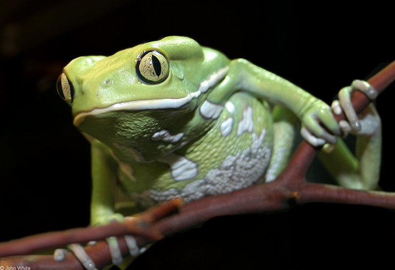 Frogs and Toads - Waxy Monkey Frog (Phyllomedusa sauvagii); DISPLAY FULL IMAGE.
