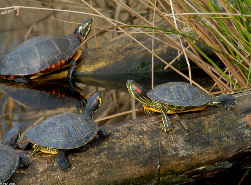 Turtles - eastern painted turtle and red-eared sliders; DISPLAY FULL IMAGE.