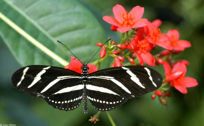 Invertebrates - Zebra Longwing Butterfly (Heliconius charithonia); DISPLAY FULL IMAGE.