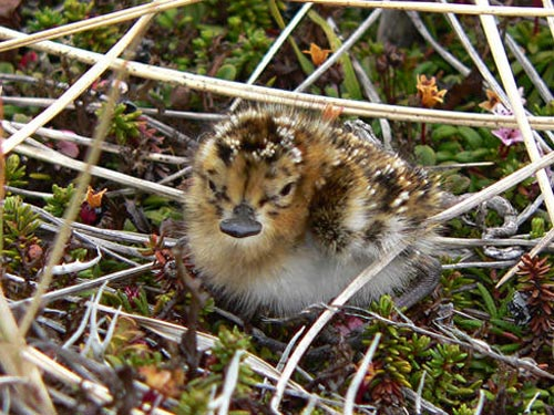 Sandpiper Bird Faces Extinction [LiveScience 2007-10-12]; Image ONLY