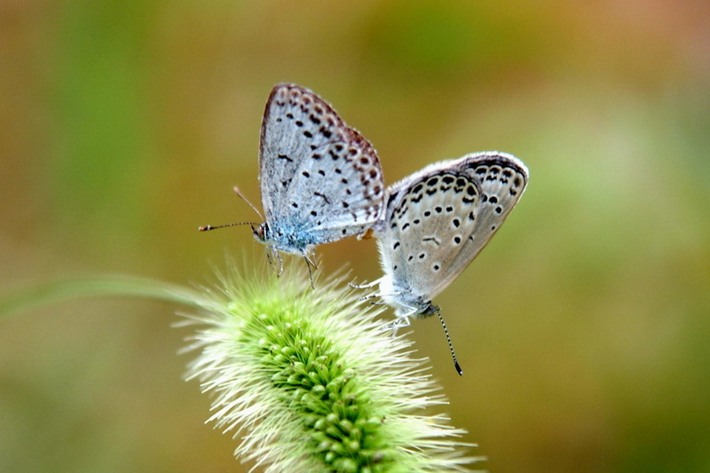 Pale Grass Blue Butterflies mating <!--남방부전나비, 짝짓기-->; DISPLAY FULL IMAGE.