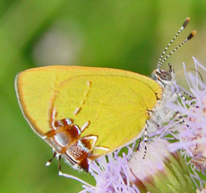 Rare butterfly spotted in Starr County [TheMonitor 2007-10-11]; Image ONLY