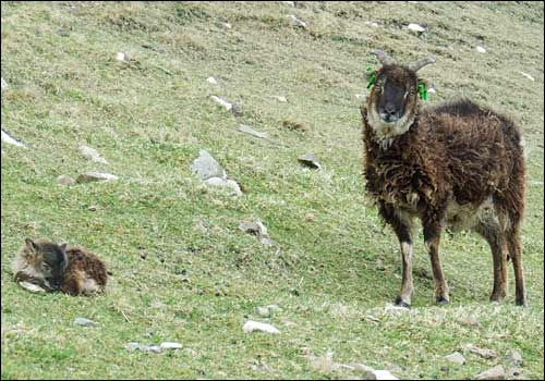 Ewes not sheepish over fighting [BBC 2007-10-14]; Image ONLY