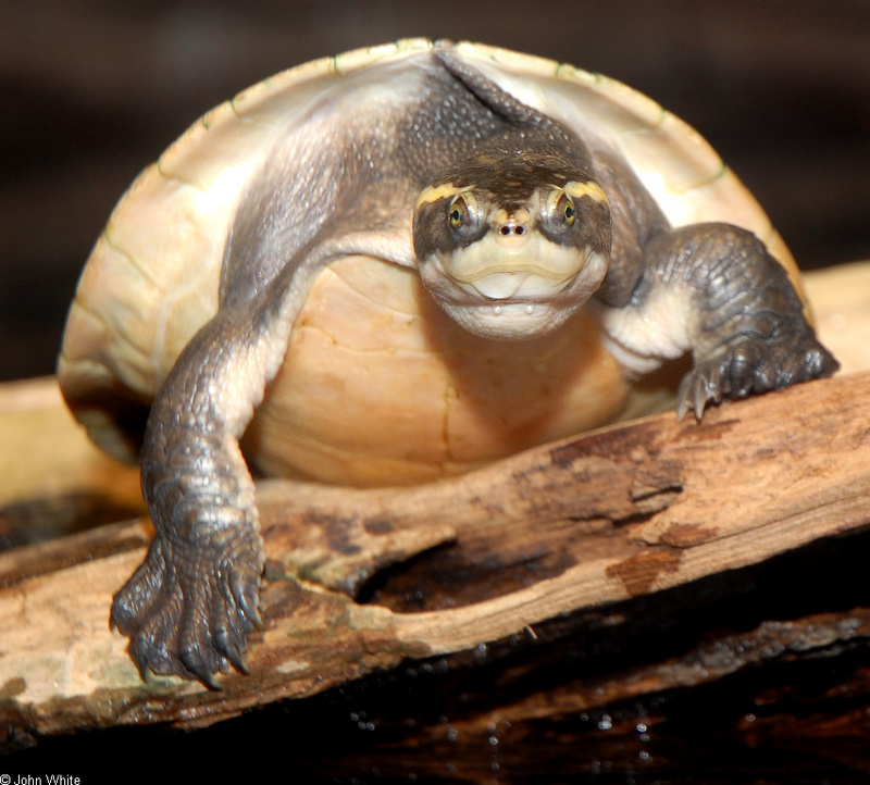 Northern Yellow-faced Turtle (Emydura tanybaraga)0003; DISPLAY FULL IMAGE.