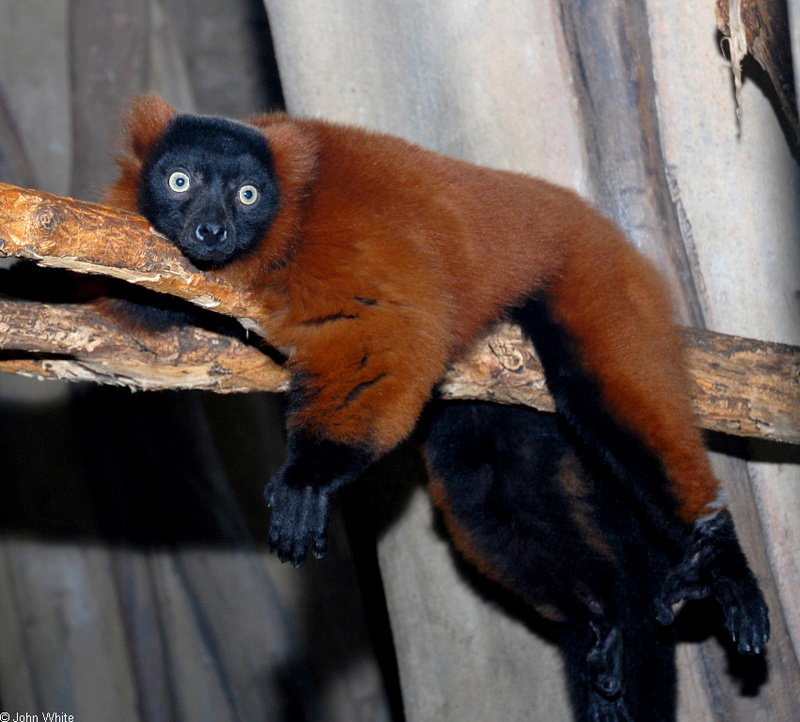Red-Ruffed Lemur (Varecia variegata rubra); DISPLAY FULL IMAGE.