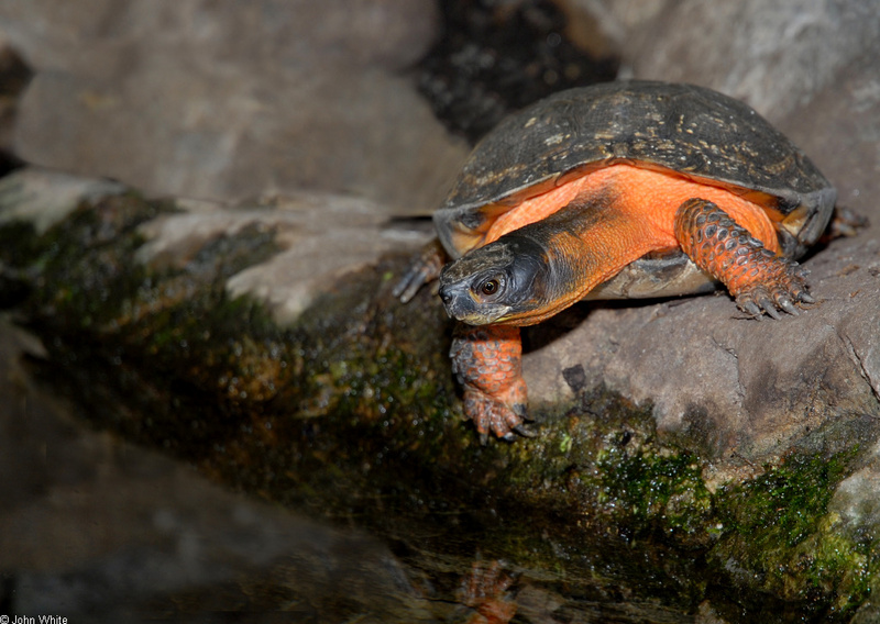Wood Turtle (Clemmys insculpta); DISPLAY FULL IMAGE.