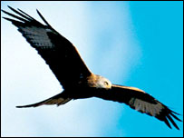 Experts bid to help birds of prey [BBC 2007-10-22]; Image ONLY