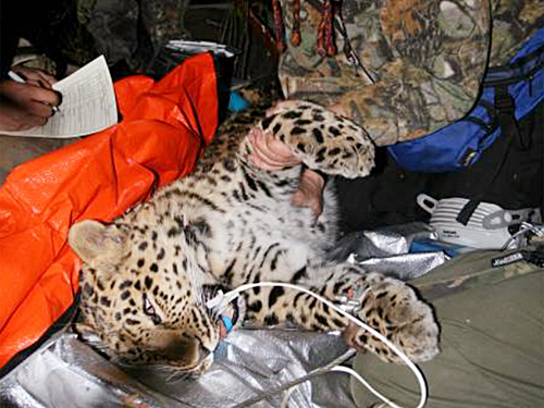Rare Amur Leopard Captured [LiveScience 2007-10-23]; Image ONLY