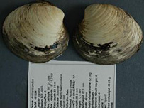 Ming the clam is 'oldest animal' [BBC 2007-10-28]; Image ONLY