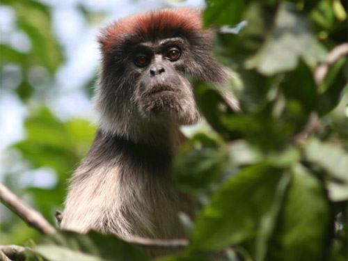 Parasites Take Toll on Forest Primates [LiveScience 2007-10-29]; Image ONLY