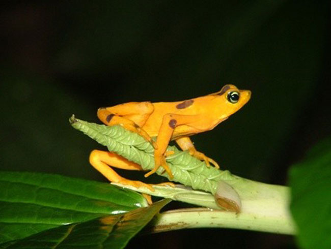 Frogs More Abundant, But Disappearing Fast [LiveScience 2007-10-31]; Image ONLY