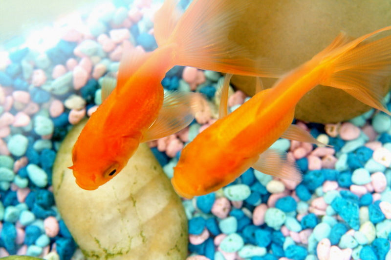 Goldfish (Carassius auratus) <!--금붕어-->; DISPLAY FULL IMAGE.