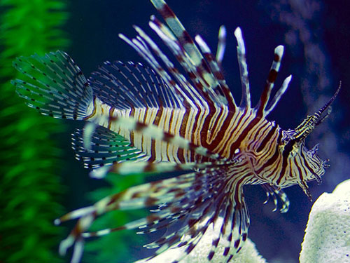 Lionfish Invasion [LiveScience 2007-11-05]; Image ONLY