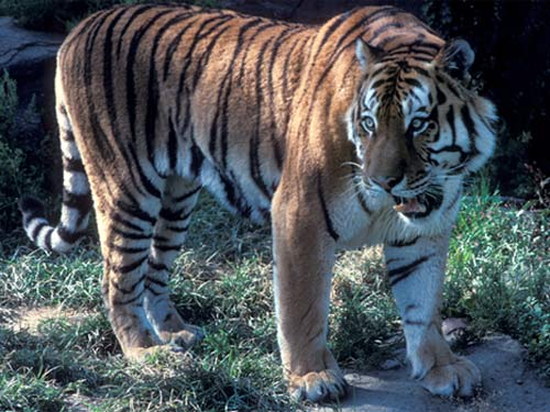 Endangered Tigers Need Habitat Upgrade [LiveScience 2007-11-06]; Image ONLY
