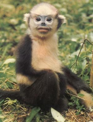 Primates: Extinction Threat Growing For Mankind's Closest Living [ScienceDaily 2007-10-29]; Image ONLY