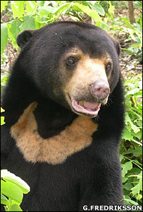 Concern grows for smallest bear [BBC 2007-11-12]; Image ONLY