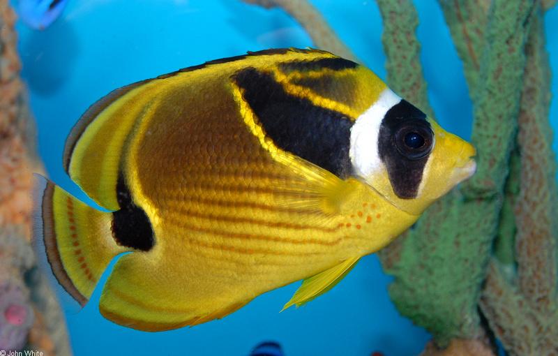 Raccoon Butterflyfish (Chaetodon lunula)04 copy.jpg