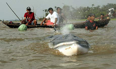 Whale found 1,000 miles inside Amazon [The-Guardian 2007-11-17]; Image ONLY