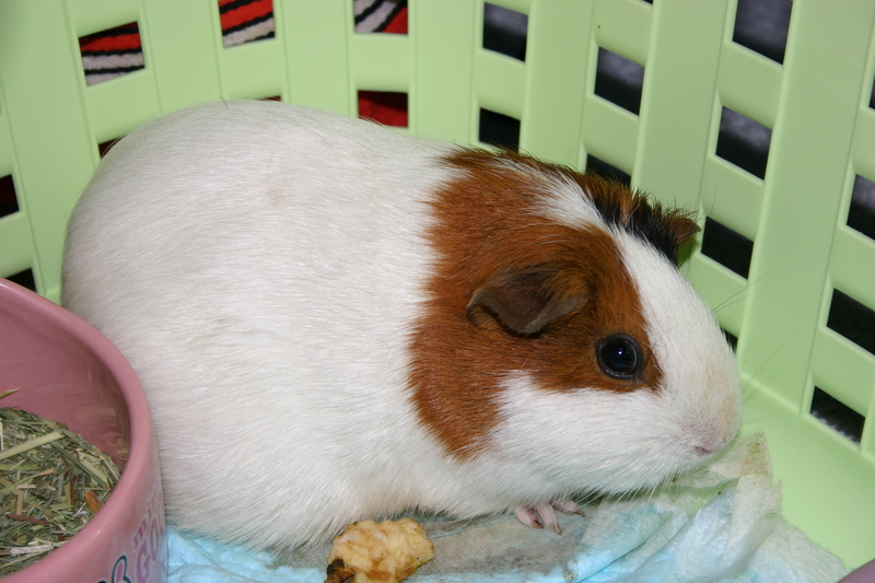 My guinea pigs; DISPLAY FULL IMAGE.