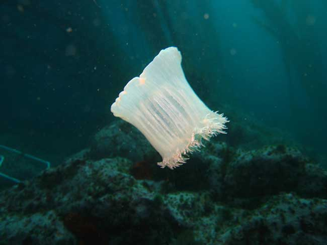 Newfound Sea Anemones Really Get Around [LiveScience 2007-11-23]; Image ONLY