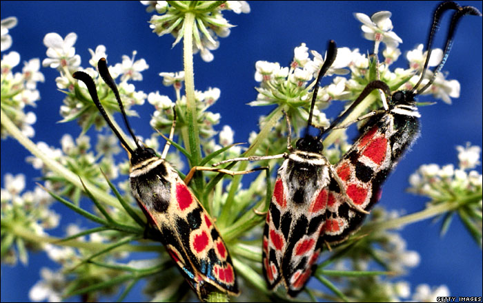 Blood Droplet Burnet (Zygaena carniolica) [BBC 2007-11-29]; Image ONLY