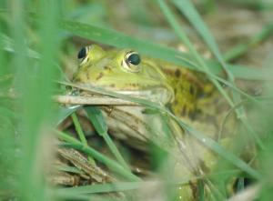 Indigenous Water Frogs In Europe Under Threat [ScienceDaily 2007-11-29]; Image ONLY