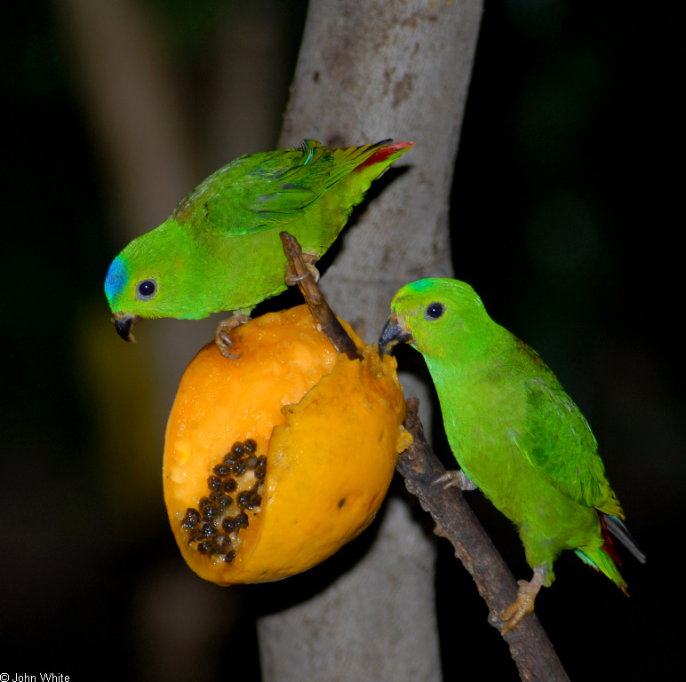 Some Birds - Blue-crowned Hanging-parrot (Loriculus galgulus)03; Image ONLY