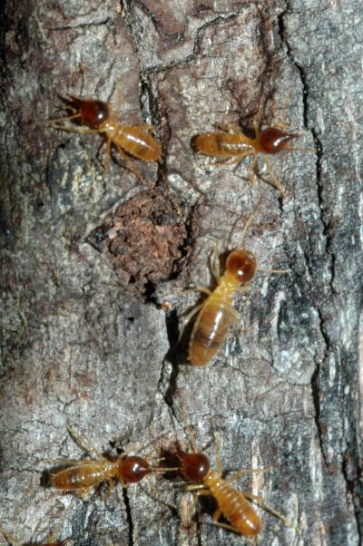 Path to Alternative Fuel Found in Termite Guts [LiveScience 2007-11-30]; Image ONLY