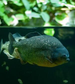 Present-day Species Of Piranha Resulted From Marine Incursion Into Amazon Basin [ScienceDaily 2007-12-14]; Image ONLY
