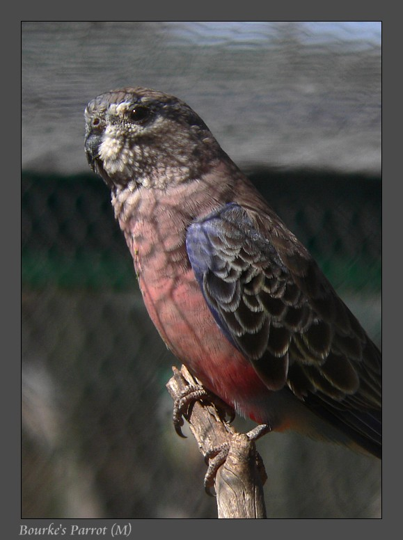 Bourke's Parrot; Image ONLY