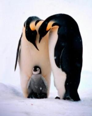 Penguins In Peril As Climate Warms [ScienceDaily 2007-12-15]; Image ONLY