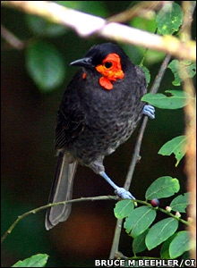 Lost world wildlife - Wattled Smoky Honeyeater [BBC 2007-12-18]; Image ONLY
