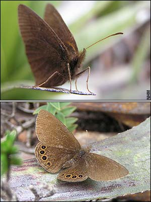 New butterfly species found in the Andes [Telegraph 2007-12-19]; Image ONLY